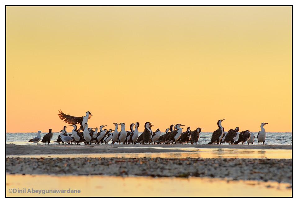 cormorants-monkey-mia-shark-bay