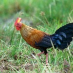 Sri Lankan Jungle Fowl