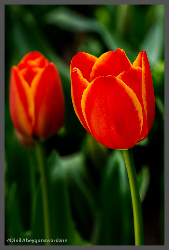 DOF-Visible-Range-Tulips-dinil