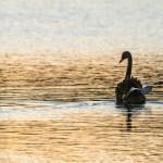 Black Swan - Herdsman Lake - Western Australia