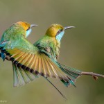 Green Bee Eaters for Photographers..?
