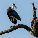 Wooly necked Stork - Yala National Park - Sri Lanka