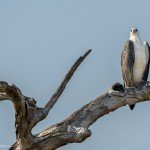 White bellied Fish Eagle - Yala National Park - Sri lanka