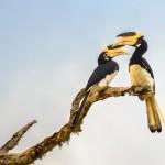 Malabar Pied Hornbills - Yala National Park