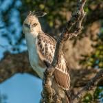 Changeable Hawk-Eagle - Kumana - Sri Lanka