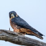 Australian Hobby (Little Falcon)