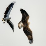 White bellied Sea Eagle chasing a Crested Serpent Eagle - Kumana National Park - Sri Lanka