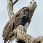 Grey Headed Fish Eagle-Yala National Park Sri Lanka
