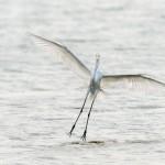 Great Egret Landing - Kandalama Sri Lanka