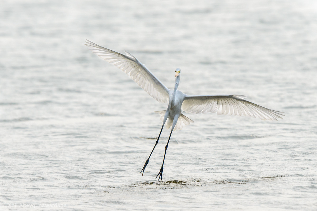Great Egret Landing Kandalama Sri Lanka Struck By Light
