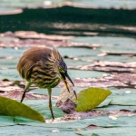 indian-pond-heron-dropping-prey-dinil-abeygunawardane-struck-by-light-thalangama