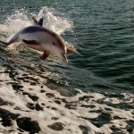 two-dolphins-jumping-off-the-warter-mandjar-bay-mandurah-western-australia