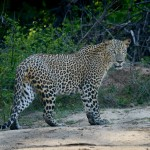 Sri Lankan Leopard - Yala National Park
