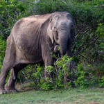 Sri Lankan Elephant - Yala National Park