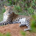 Sri Lankan Leopard - Yala National Park
