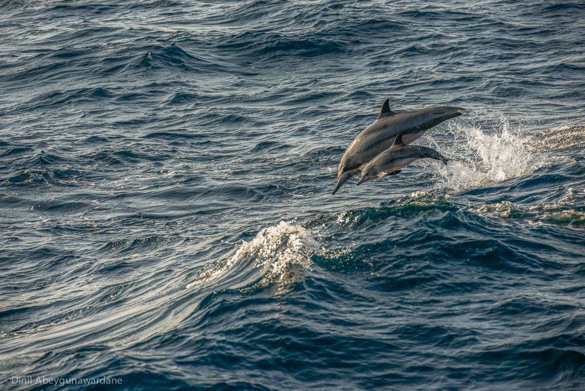 Dolphins - Mirissa - Sri Lanka