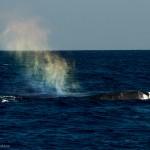 Blue Whale - Mirissa - Sri Lanka