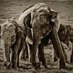 sri-lankan-elephants-minneriaya-national-park-sri-lanka
